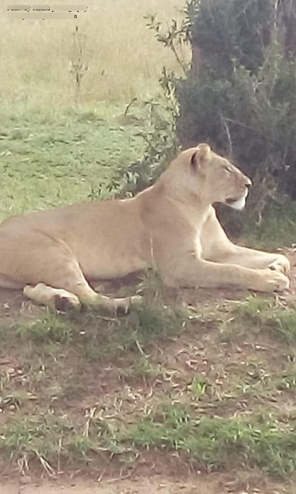 Lions to be spotted on a game drive