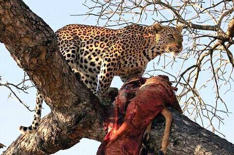 Leopard with a hunt