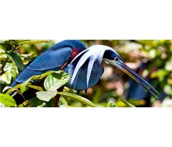 The Agami bird