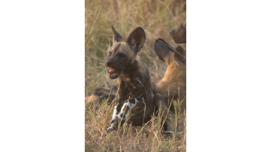African Wild Dogs in Moremi