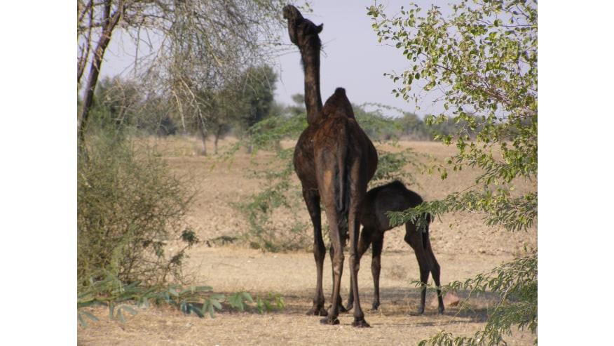 desert & Camels
