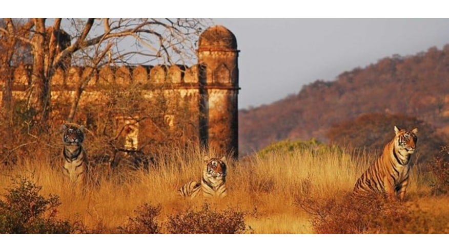 tiger by the Ranthambhore Fort