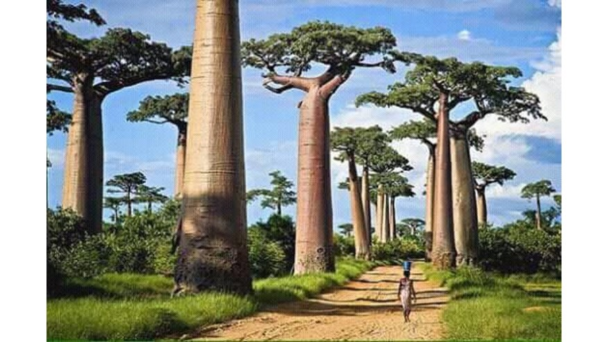 Walk on the stunning Avenue of the Baobabs