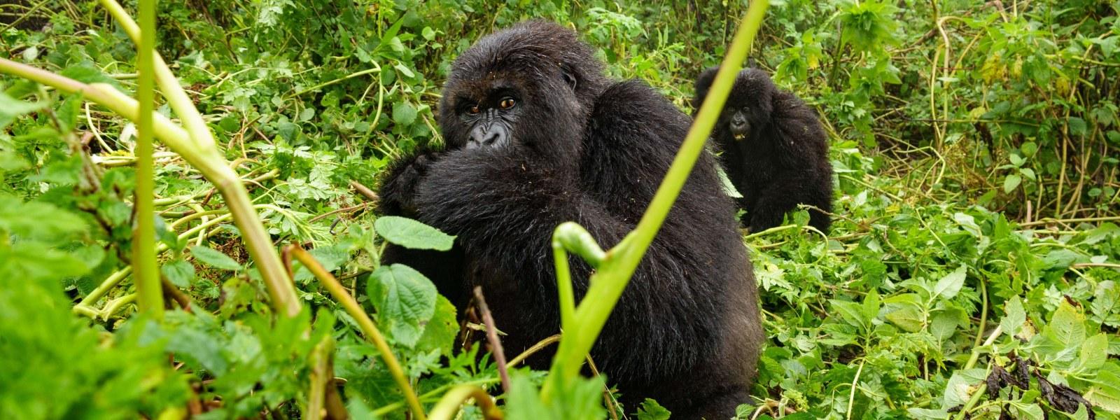 Image result for Mgahinga Gorilla National park
