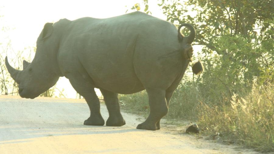 Rhino busy relaxing