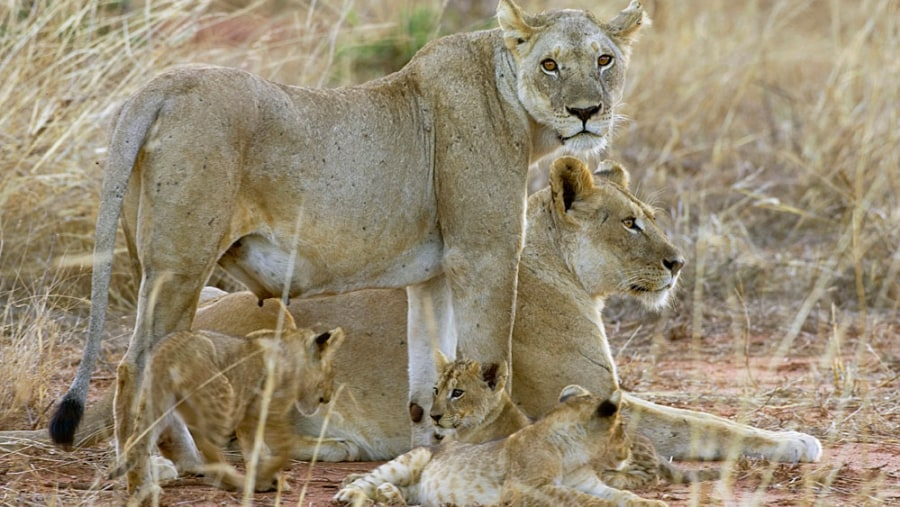 Lions of tsavo east national park