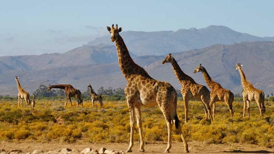 Giraffes at Inverdoorn