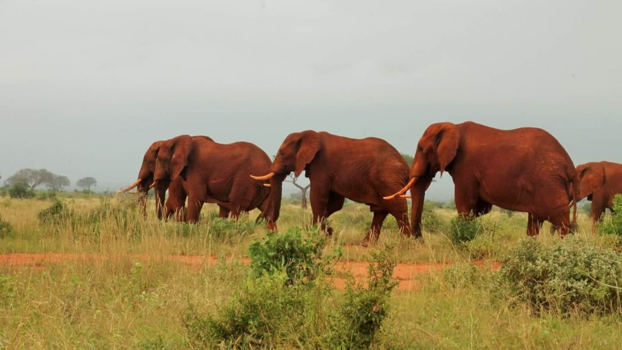 Red elephant of Tsavo