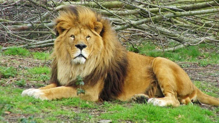 Lion at Aquilla