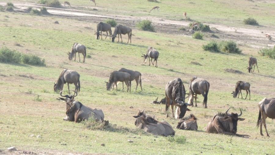 YHA Kenya Travel,  Kenya migration safari, Wildebeest Migration, Hot Air Balloon Safari, small group safaris, Masai Mara Migration, Kenya adventure safaris.