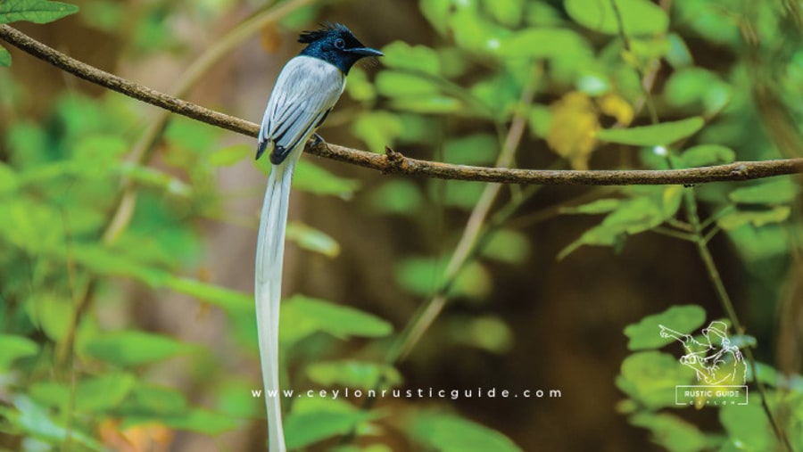 Rustic Guide to Most Beautiful Birds Colombo