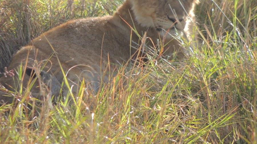 Cub Lion