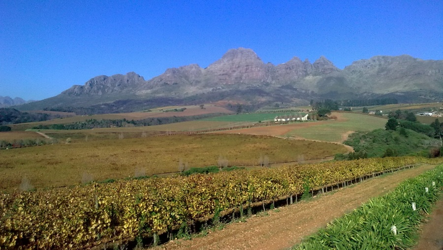 Vineyards in the Winelands