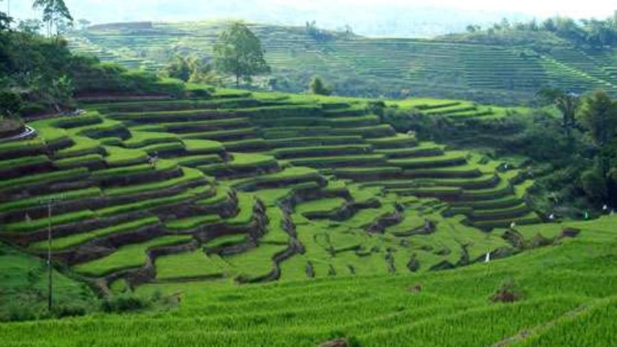 Flores rice field
