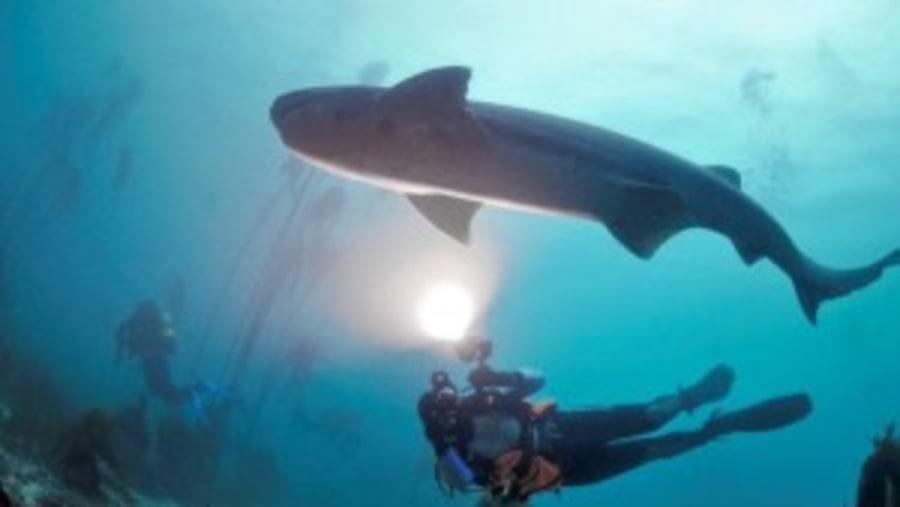 Scuba with 7 Gill Cow Sharks