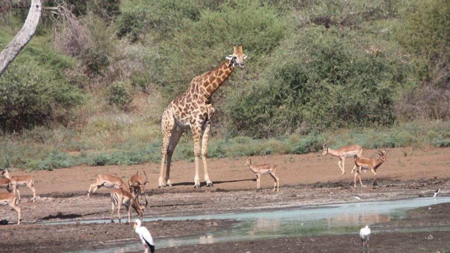 Giraffe and Impala a Sunset Dam
