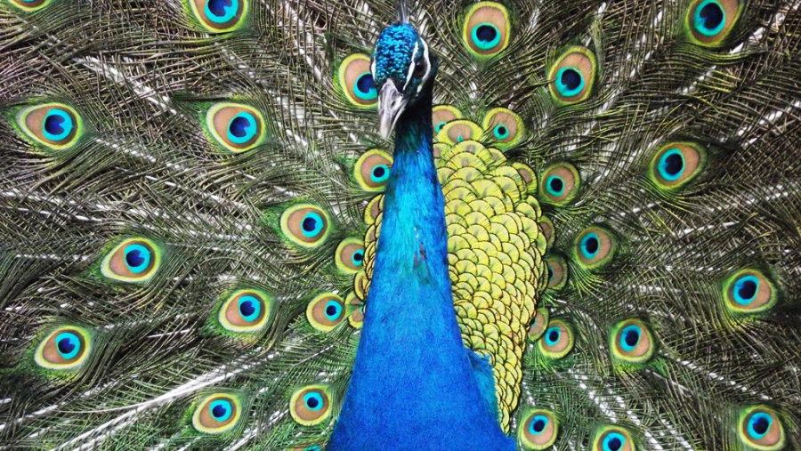 Male Peacock showing off