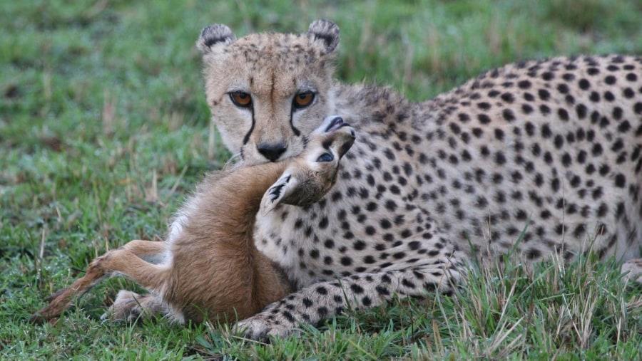 cheetah killing gazelle