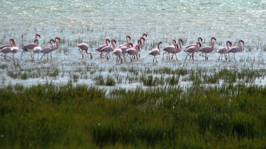 Beautiful Flamingoes