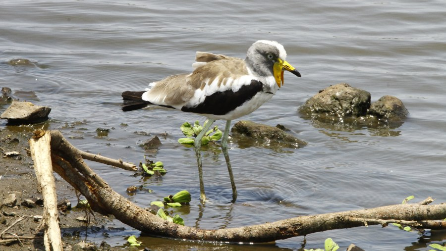 Africa Wattled Lapwing