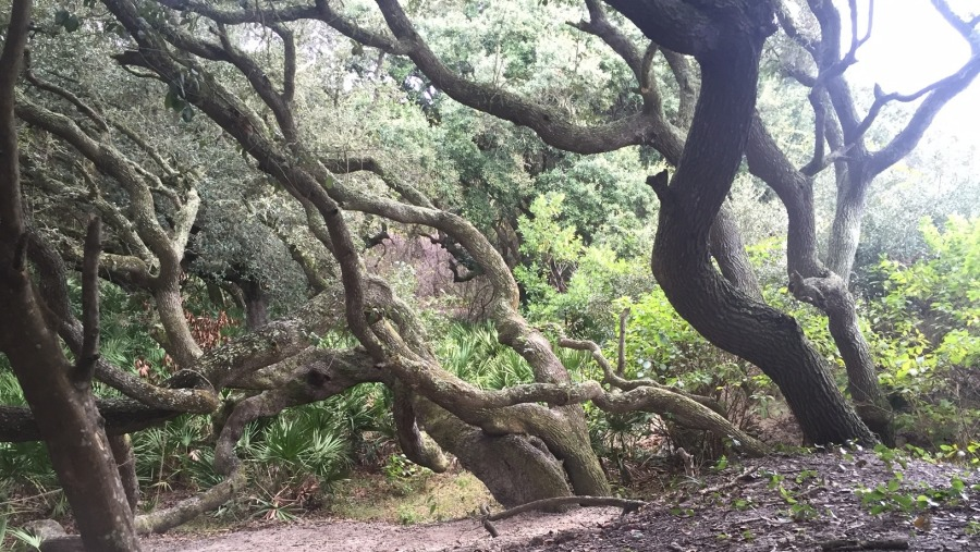 The Live Oaks are amazing