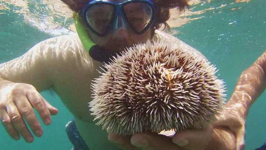 white sea urchin, go ahead touch it