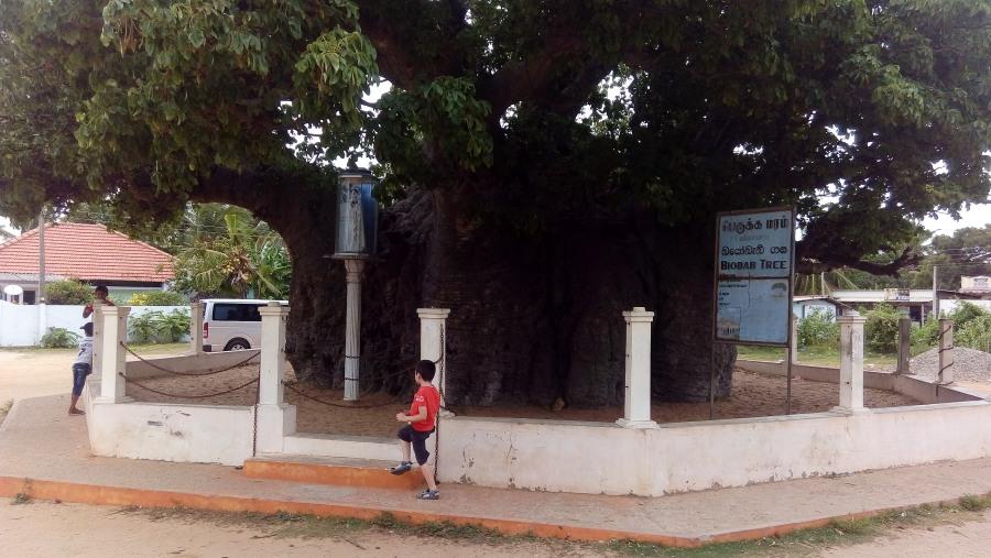 biobab tree sri lanka
