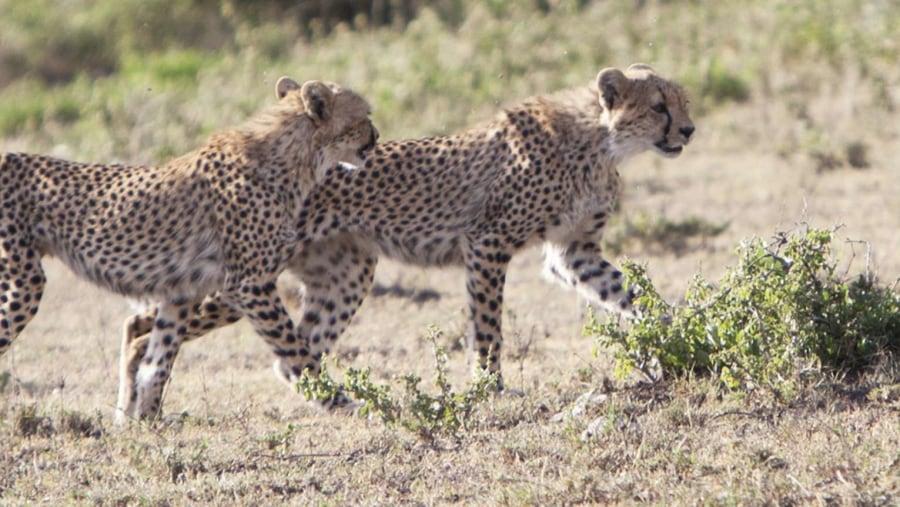 Hunting cheetah - masai mara