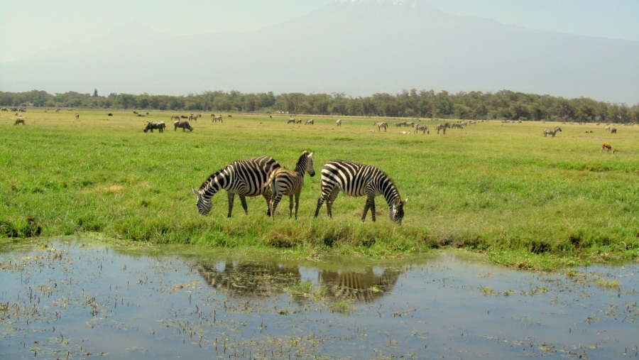 zebra with view of mount Kilimanjaro