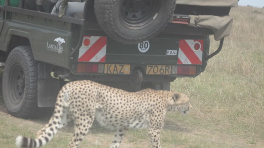 cheetah crossing