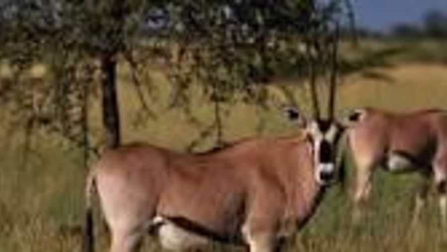 Beisa Oryx at the Awash National Park