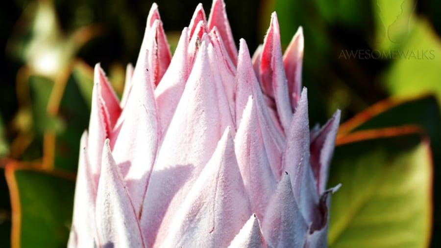 King Protea on Table Mountain