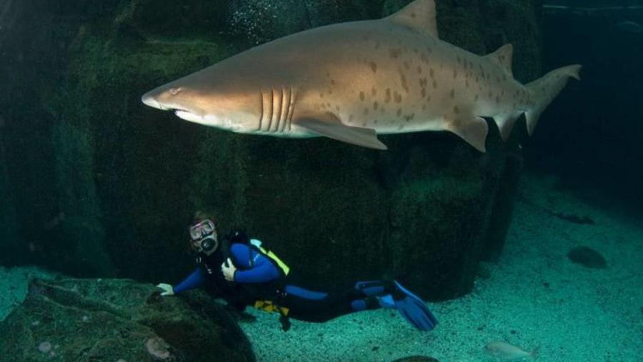 Scuba in the Aquarium Predator Tank