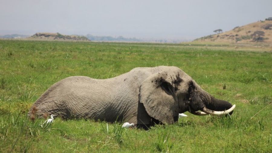 Elephant feeding in amboseli swamps