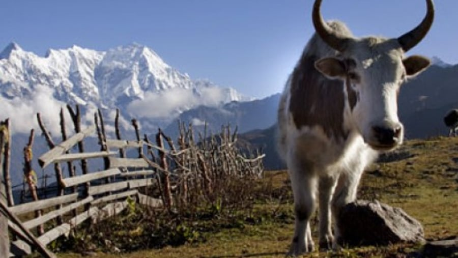 Mountain yak
