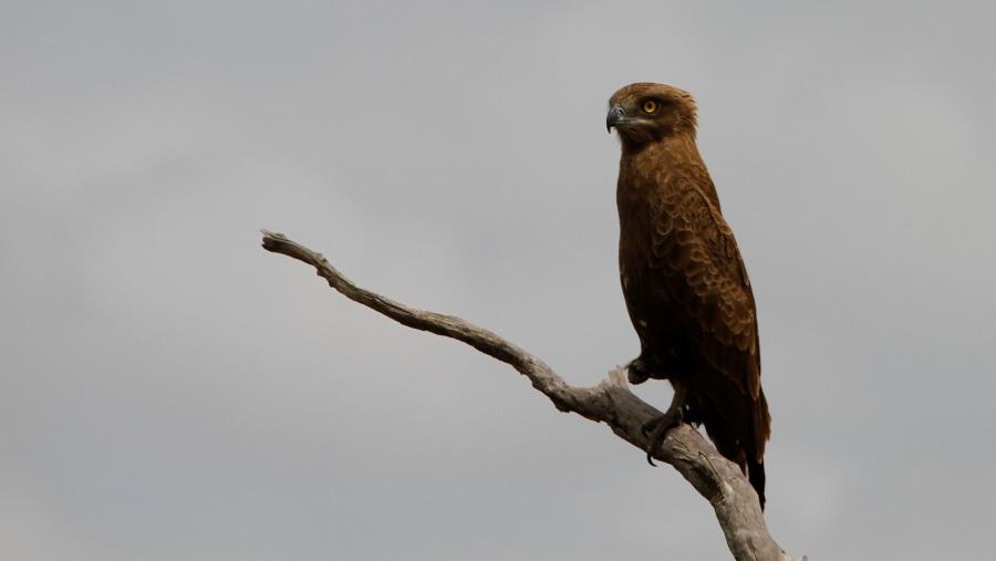 Brown-Snake Eagle