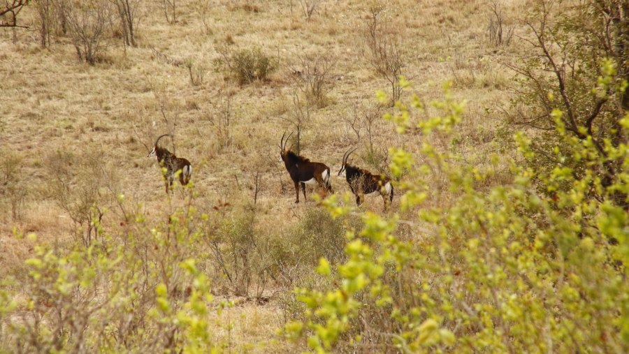 Sable Antilope