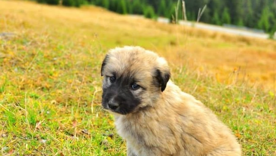 Romanian Sheep Dog Puppy