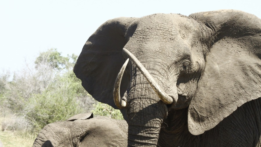 Elephant with unusual formed tusks