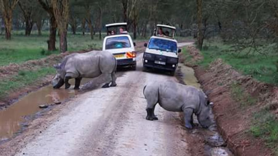 Rhinos on a game drive