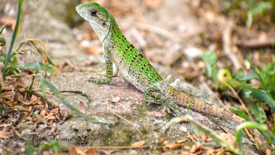 Young Gray Iguana at Comalcalco Archeological Zone