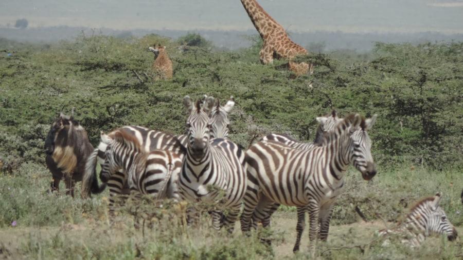 YHA Kenya Travel Tours And Safaris, Masai Mara,Wildlife Safaris, Kenya Holidays, Kenya Adventure Budget Camping Safaris, Best Safaris in Kenya,Wildebeest Migration Safaris.