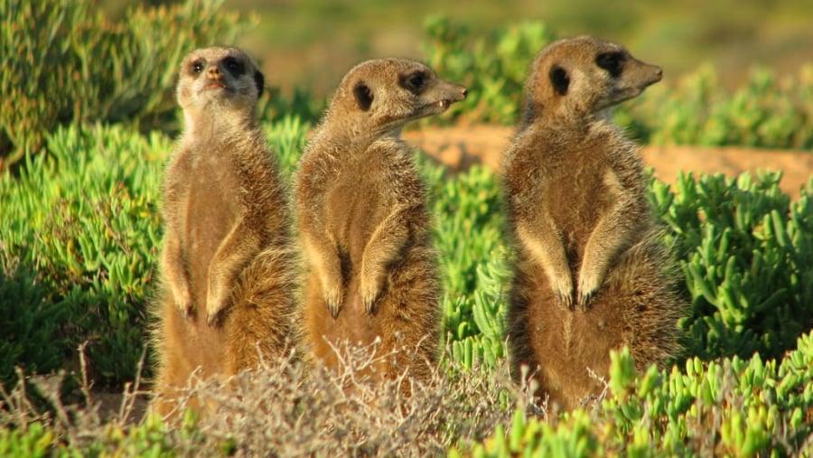 Meerkats taking in the sunrise