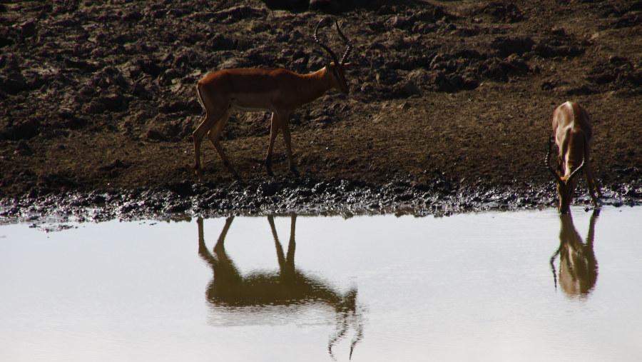 Impala at dry waterhole