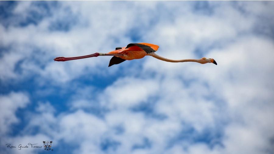 Flamingo at Celestún