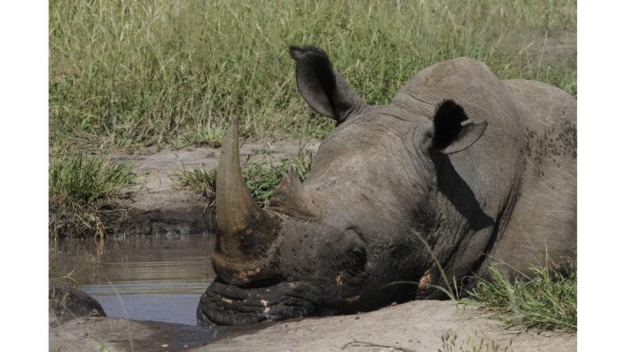 Rhinoceros relax in a waterhole