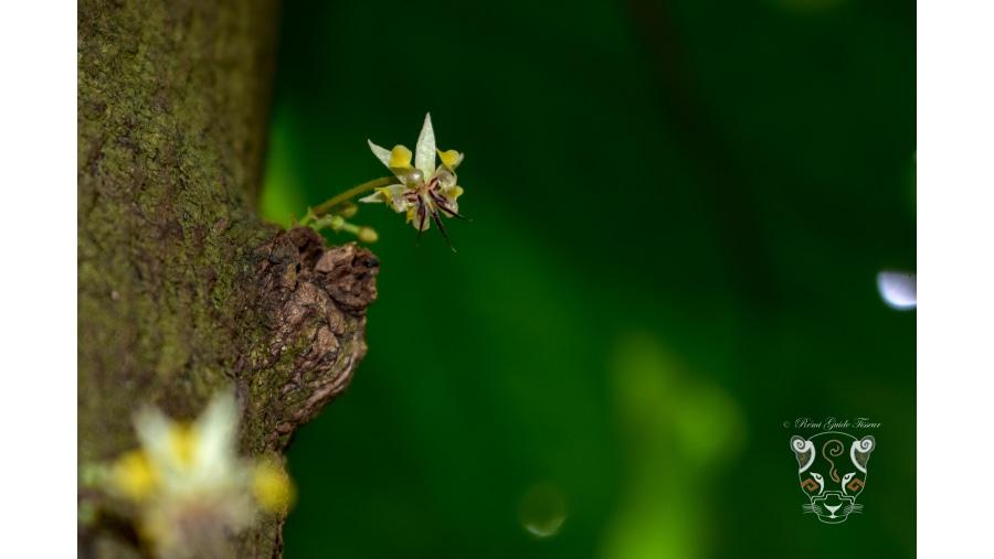 Cacao flowers, at Comalcalco haciendas