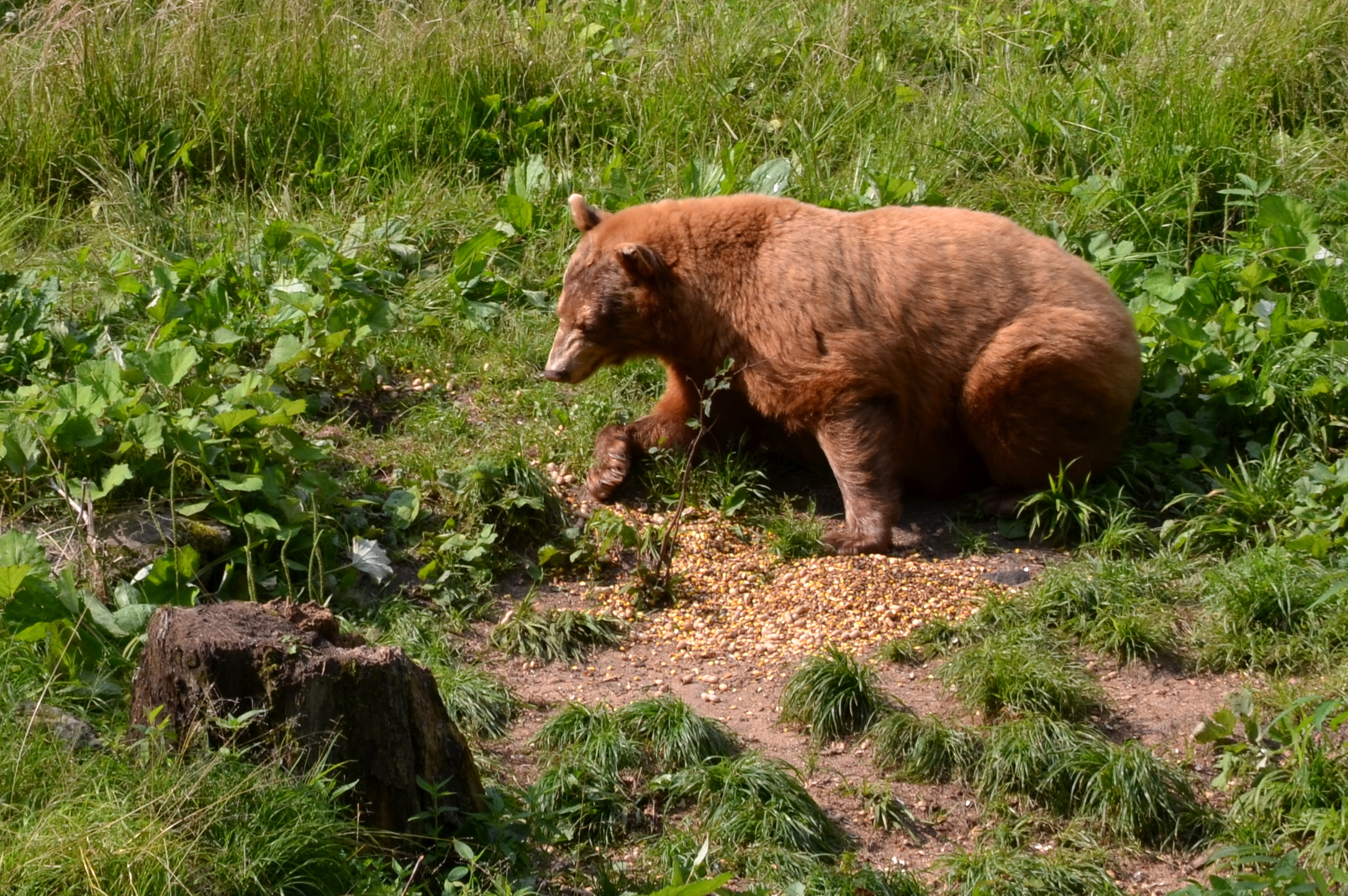 """Blonde"" black bear at Kenauk. Photo by Eric Fletcher."