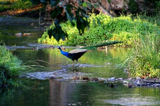 choolanoor-peacock-sanctuary-near-nelliampathi