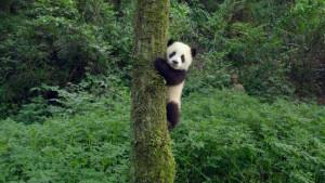 Pandas 76fcff91